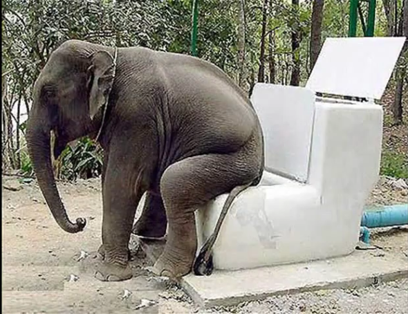 elephant taking a dump
